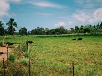 Open pasture on the plantation